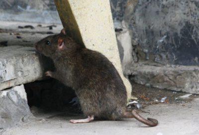 Chuột: Sát thủ số 1 của máy cắt decal